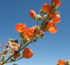 tough and pretty Globe Mallow wildflower