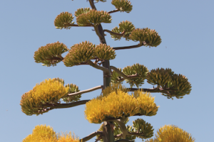agave in bloom